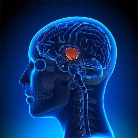 L'Ipotalamo e la sua posizione nel cervello