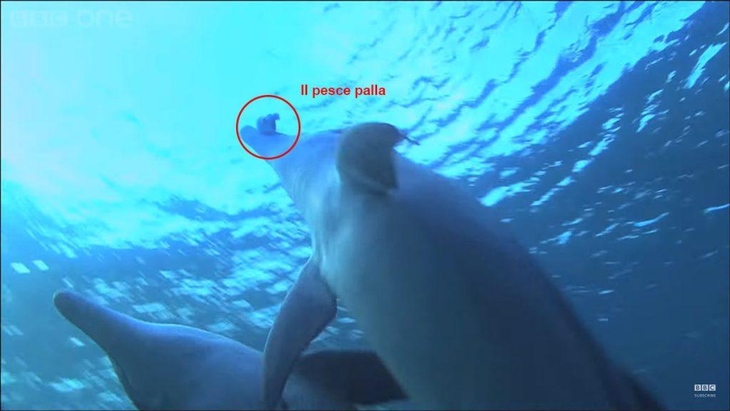 delfini cattura pesce palla